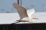 great-egret-40