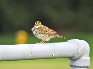 What the hell are YOU looking at? (Savannah Sparrow)