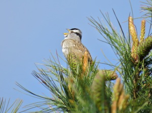 I am a White-crowned sparrow, and my name makes sense!
