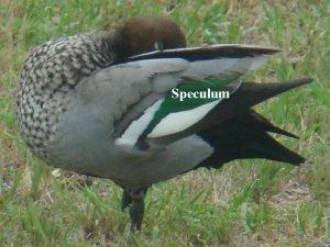 wooduck_speculum