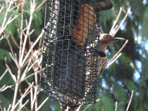 Male Northern Flicker and remaining store-bought suet cake