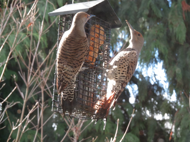 Store-bought suet cake and female Northern Flickers