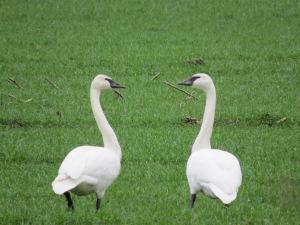swans (24)