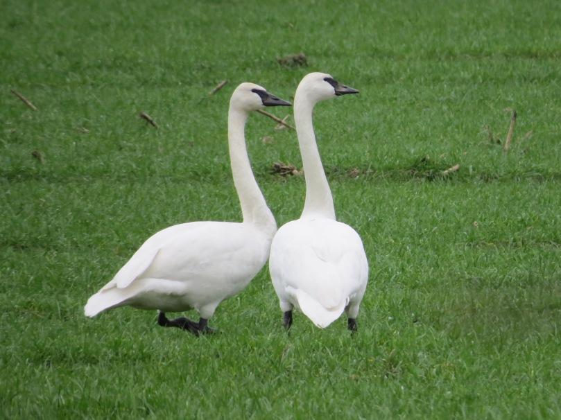 swans (25)