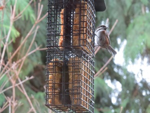 chestnut-backed chickadee (2)