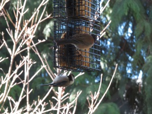 Black-capped chickadee and dark-eyed junco