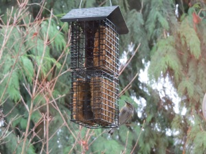 Yellow-rumped warbler and homemade suet